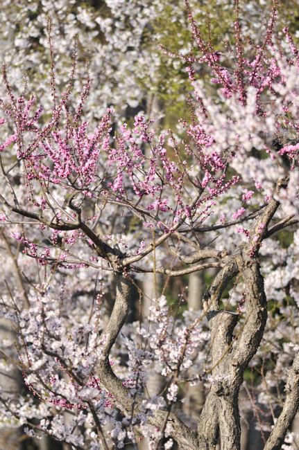 円山公園_20100515_006.jpg
