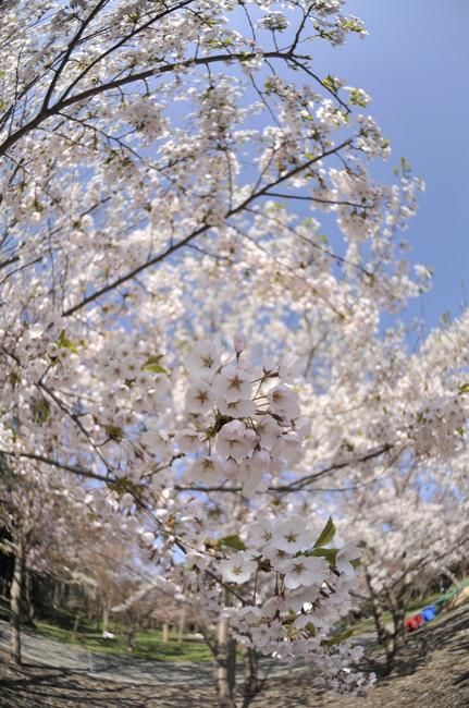 円山公園_20100515_016.jpg