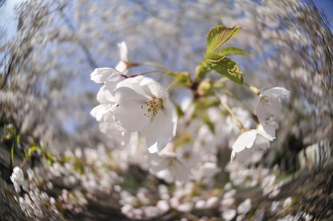 円山公園_20100515_018.jpg