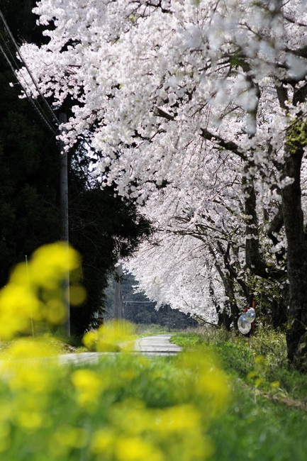 菜の花_01.jpg