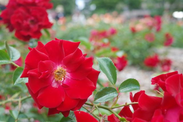 大通り公園のバラ2.jpg