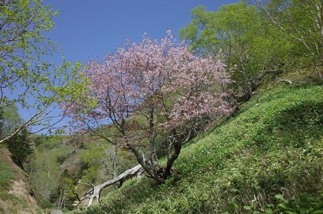 羅臼相泊の桜.jpg