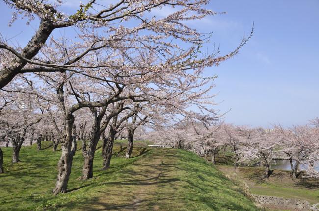 2011 桜001.jpg